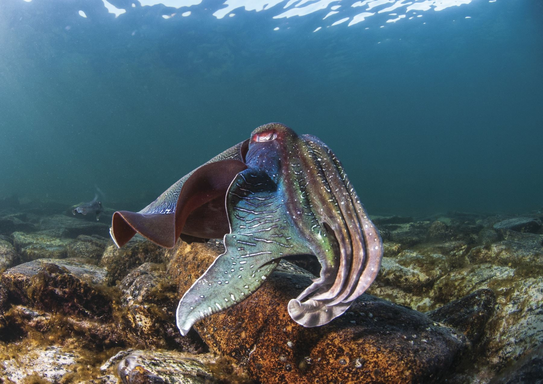 Cuttlefish at Stony Point, Whyalla. Photo: Carl Charter.