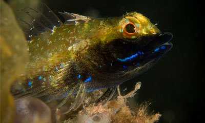 Male Black-throated Triplefin by Chelsea Haebich