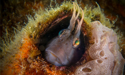 Horned blenny in a barnacle shell. Photo: Chelsea Haebich
