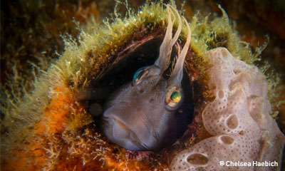 blenny_chelseahaebich