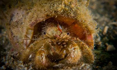 Hermit Crab by Chelsea Haebich