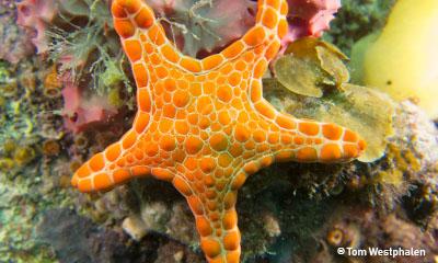 orangeseastar_tomwestphalen